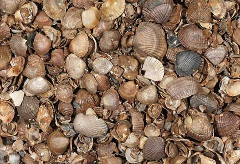 Shells (washed)